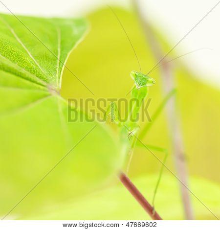 Praying Mantis Hiding in leaves