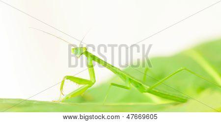 Mantis religiosa inmaduro ninfa Closeup
