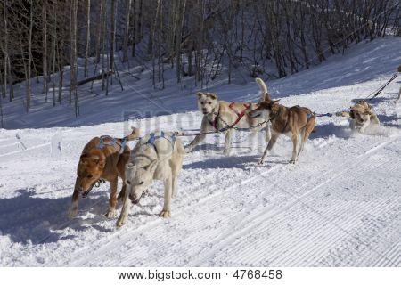 Dog Sled Team In Training