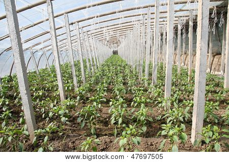 Vegetable Greenhouses