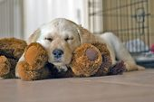 image of seeing eye dog  - love able yellow lab sleeping on kennel buddy - JPG