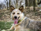 stock photo of heeler  - Red Heeler outside laying in the grass with her tennis ball waiting to play - JPG