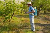 foto of pesticide  - Agricultural worker spraying a lemon field with pesticide - JPG
