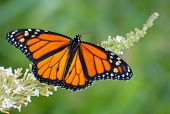 Male Monarch butterfly feeding on a white flowers of a butterfly bush against summer green backgrou