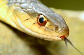 picture of garter  - Closeup macro shot of a garter snake head - JPG