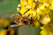 image of working animal  - Bee works hard on the yellow flower - JPG