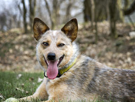 picture of heeler  - Red Heeler outside laying in the grass with her tennis ball waiting to play - JPG