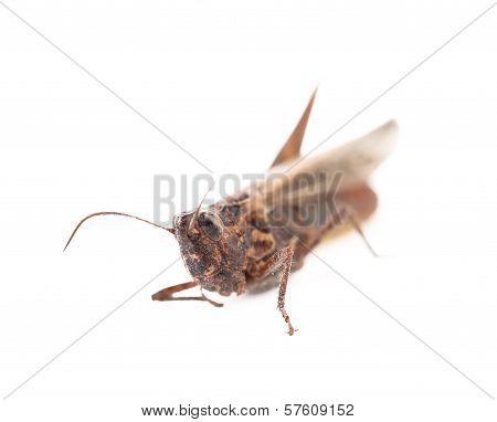 Close-up locust