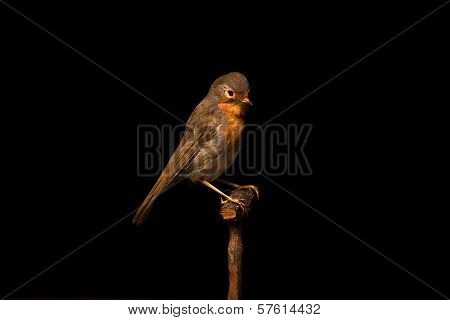 Taxidermy Robin On Black Background