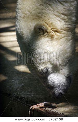 Polar Bear In The Zoo Eating Fish.