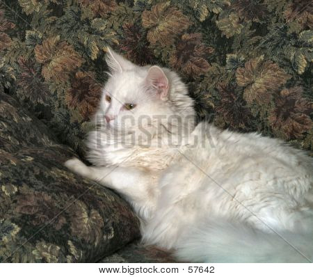 Soft Furry White Cat