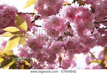 A beautiful Pink Japanese Cherry Twig Blossom