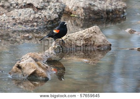 Male Red-winged Blackbird In The Marsh