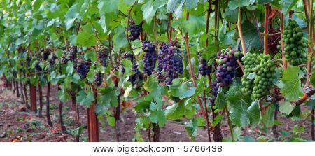 Panoramic of Pinot Noir Grapes