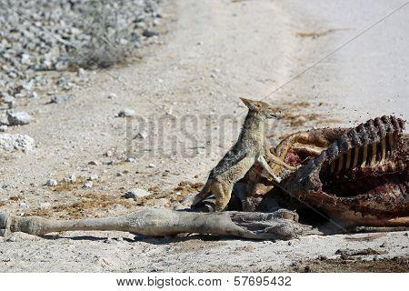 Jackal with Cadaver