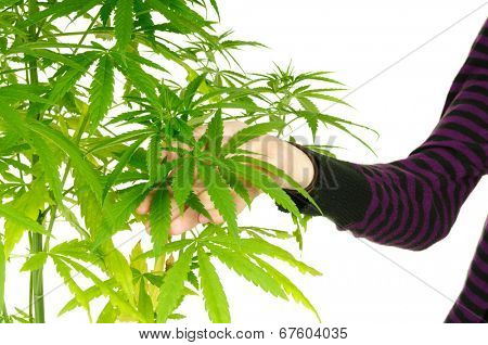 Woman's hand holding the leaves of a cannibis plant