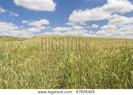 Wheat Field Under A Cloudy Blue Sky