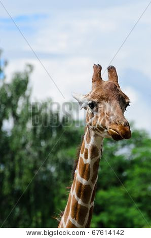 Close-up Of Funny Looking Giraffe