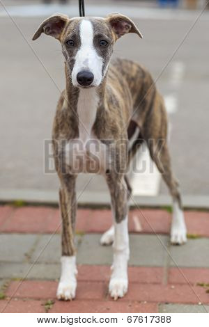 Domestic Dog Whippet Breed