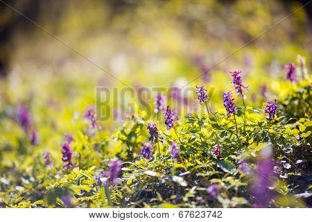 Small flowers on the spring meadow. Carpathian, Ukraine, Europe. Beauty world.