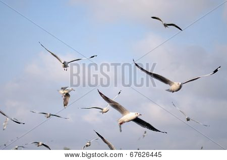 Brown Headed Gull With Sky Background