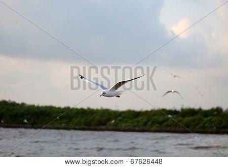 Flying Seagulls In Action At Bangpoo, Thailand