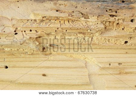 Wood Damaged By Woodworm