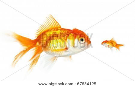 Meeting of large and small goldfish, isolated on white