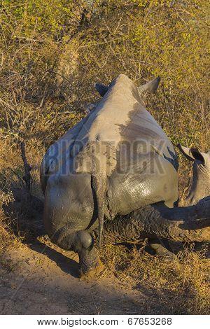 White rhino scratching after mud bath