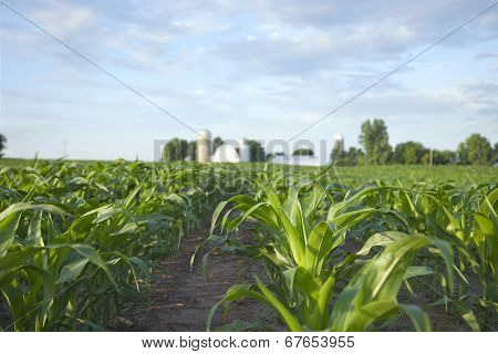 A cornfield and farm shot at a low angle