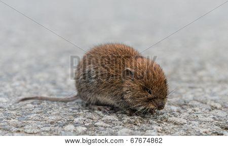 Common Vole (Microtus arvalis)