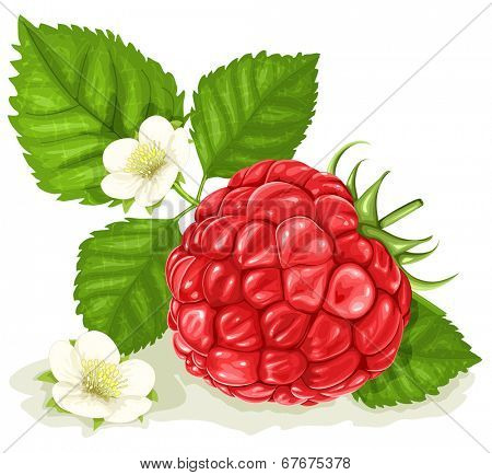 Raspberry with leaves and blossoms.Vector illustration.