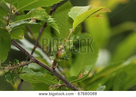Chestnut Gall Wasp, Scourge Of Chestnut Trees