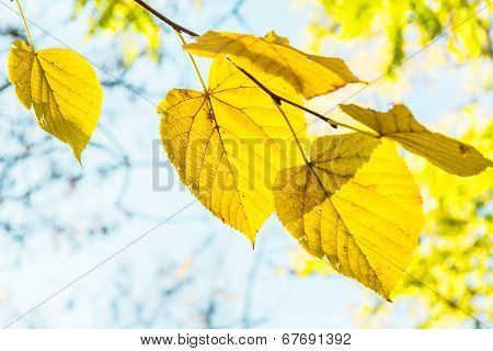 Yellow Leaves On A Branch Backlit