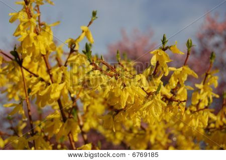 Yellow spring bush