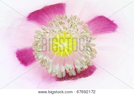 Close up of The Opium poppy (Papaver somniferum). Natural background.