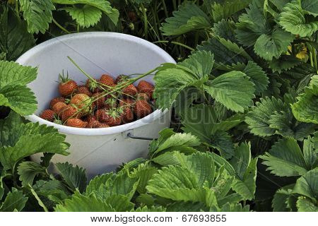 Pile with strawberries amidst strawberry bed