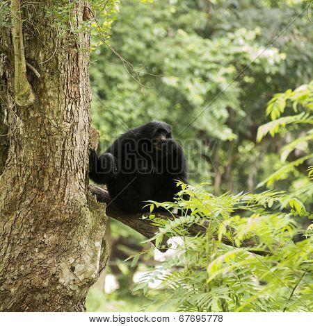 Black Cheeked Gibbon Or Lar Gibbon Sitting