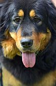 stock photo of tibetan  - Tibetan Mastiff at the dog show in the spring - JPG