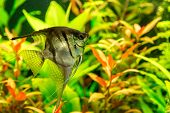 pic of freshwater fish  - A green beautiful planted tropical freshwater aquarium with fish pterophyllum scalare - JPG