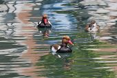 image of crested duck  - two males and a female Red - JPG