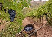 picture of wheelbarrow  - grapes for production italian wine and old wheelbarrow for the transport in vineyard on the hills of Tuscany Italy - JPG