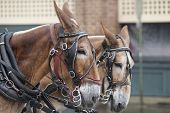 stock photo of yoke  - two mules pulling cart in the rain in Charleston - JPG