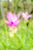 picture of curcuma  - Curcuma alismatifolia( Siam Tulip)There are many endemic plants in the rainy season in the north east of Thailand
