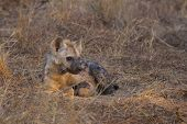 picture of hyenas  - Resting hyena pup in the wild an sunrise - JPG