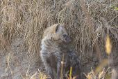 stock photo of hyenas  - Hyena pup at a den in the wild - JPG