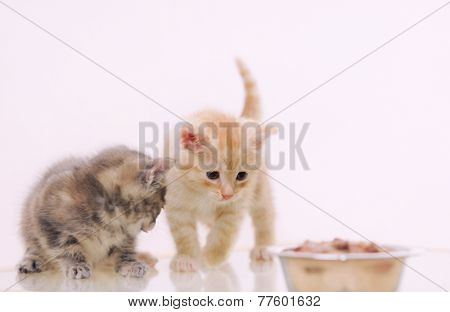 One Of Two Adorable Furry Kitten Observing Cat Food From The Bowl, Happy Animal Concept