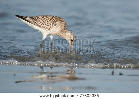 Bar-tailed Godwit (limosa Lapponica) Probing Below The Waves For Worms