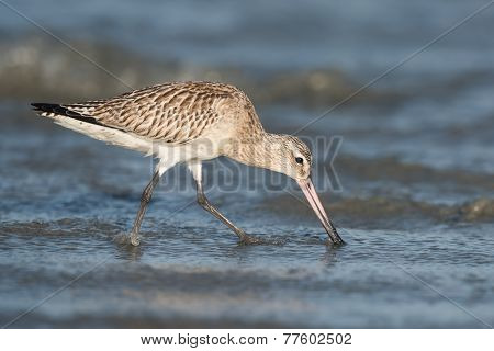 Bar-tailed Godwit (limosa Lapponica) Probing The Sand For Worms