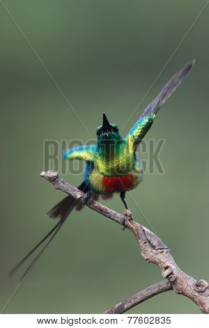 Beautiful Sunbird (nectarinia Pulchella) Male Displaying On A Branch